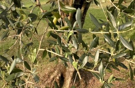 Ecco la selezione regionale Toscana di olio extravergine d'oliva del 2019