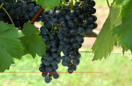 Uva e vino in festa all'Impruneta dal 2 al 30 settembre
